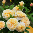 フランス、イタリア、ドイツ、日本のバラ