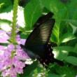 花盛りのハナトラノオと舞う蝶と蜂