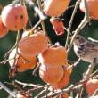 素晴らしい出会い!と柿の果実を啄むツグミの横顔