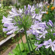 季節の花「アガパンサス」
