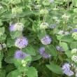 ペニーロイヤルミントの花は