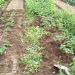 イチゴの植え付け開始