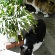 猫との出会い その135 高知県の南国蒲原簡易郵便局隣の「たこ焼き・お好み焼き あおいちゃん」の前で3匹がお食事をしていました