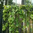 3裂の葉のツル植物は何?