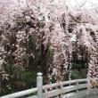 2019年の玉蔵院の桜