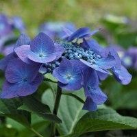 紫陽花・オカノトラノオ・ネジバナ等