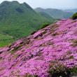 平治岳のミヤマキリシマ 5月24日