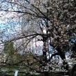 三社様の桜
