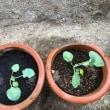 野菜植え~