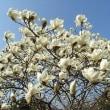 季節の花「白木連(はくもくれん)」