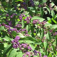 紫式部(むらさきしきぶ)という花