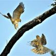 今日の野鳥   ツミ