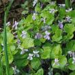 春の花・オオタチツボスミレ2