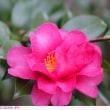 サザンカ 〈紅色の八重咲〉