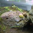 石巻貝とラムズの効果