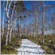 冬の白樺群生地 (3の1)