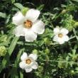 <ギンセンカ(銀銭花)> 朝咲き昼には萎む一日花「朝露草」とも