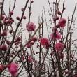 祖母の100才記念の薩摩紅梅が咲き始めた