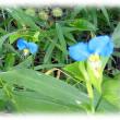 秋の白露に濡れて…(^^♪朝露を連想させる清々しい青い花「つゆ草(露草)」
