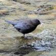 今日の鳥 カワガラス 小魚を捕まえて居ました、食べたかどうかは不明、初めて見ました。