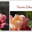 「ロゼット.デジリ」と、言うバラ...。