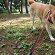 昼散歩は赤松林