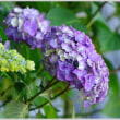 紫陽花  (4の1)  ★ 2018.06.22 ★