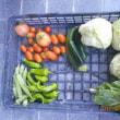 今日の収穫 トマト キュウリ ズッキーニ キャベツ うまい菜 トウガラシ類 オクラ
