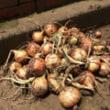 玉ねぎの収穫・トウモロコシの種まき