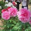 楽書き雑記「55種約1000株。名古屋・徳川園の牡丹園に行ってきました」