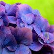ときは紫陽花