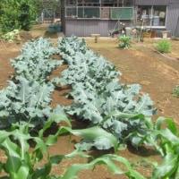 家庭菜園です