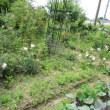 畑のバラ開花状況