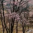 カタクリの原生地 (三島町)    2018年4月20日