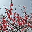須磨離宮公園の梅を見に! 2018-3月