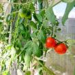 うちのベランダ栽培トマト