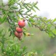 気になる、赤い木の実はザクロ。
