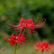 ヒガンバナ、赤と白。きょうの一句は「彼岸花」