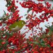 赤い実を食べる メジロ、タマシギ