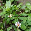大好きなホトトギスの花