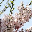 我が家の一本桜