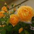 バラが綺麗です。