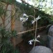 クサボタンの花