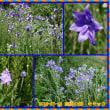今回の志度行きはキキョウの花がたくさん咲いてきれいでした。