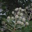 散歩で見た花。(ミゾソバ、ヤツデ、冬桜、シモクレンの蕾、?)