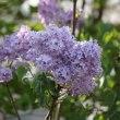 薄紫のライラック