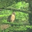 20170813山のクマタカ(餌の肉を引きちぎって食べる雛)