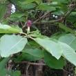 ホウノキ(厚朴)花の後 桑の実