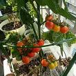 ベランダのミニトマト。カランコエ2種