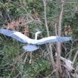 大空を舞う猛禽類のノスリとダイサギやアオサギ